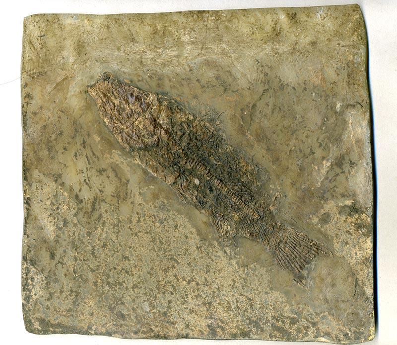 Schlammfisch aus der Grube Messel zum Kaufen