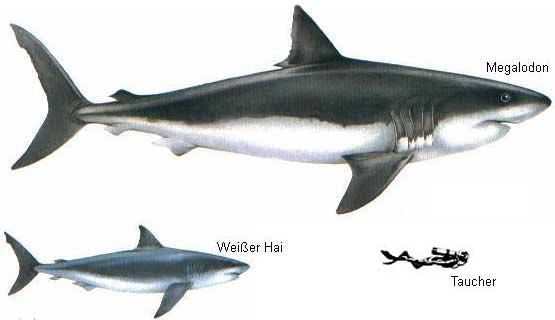 Megalodon and great white shark
