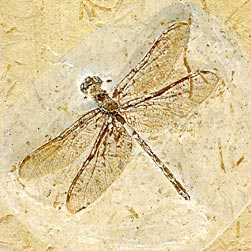 fossil libelle